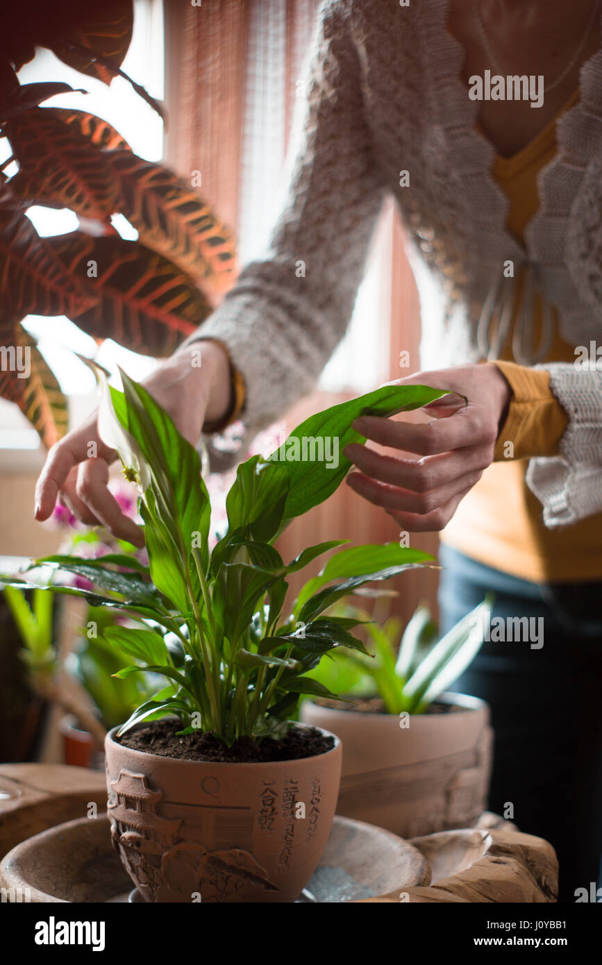 The woman caring for house plants - Stock Image