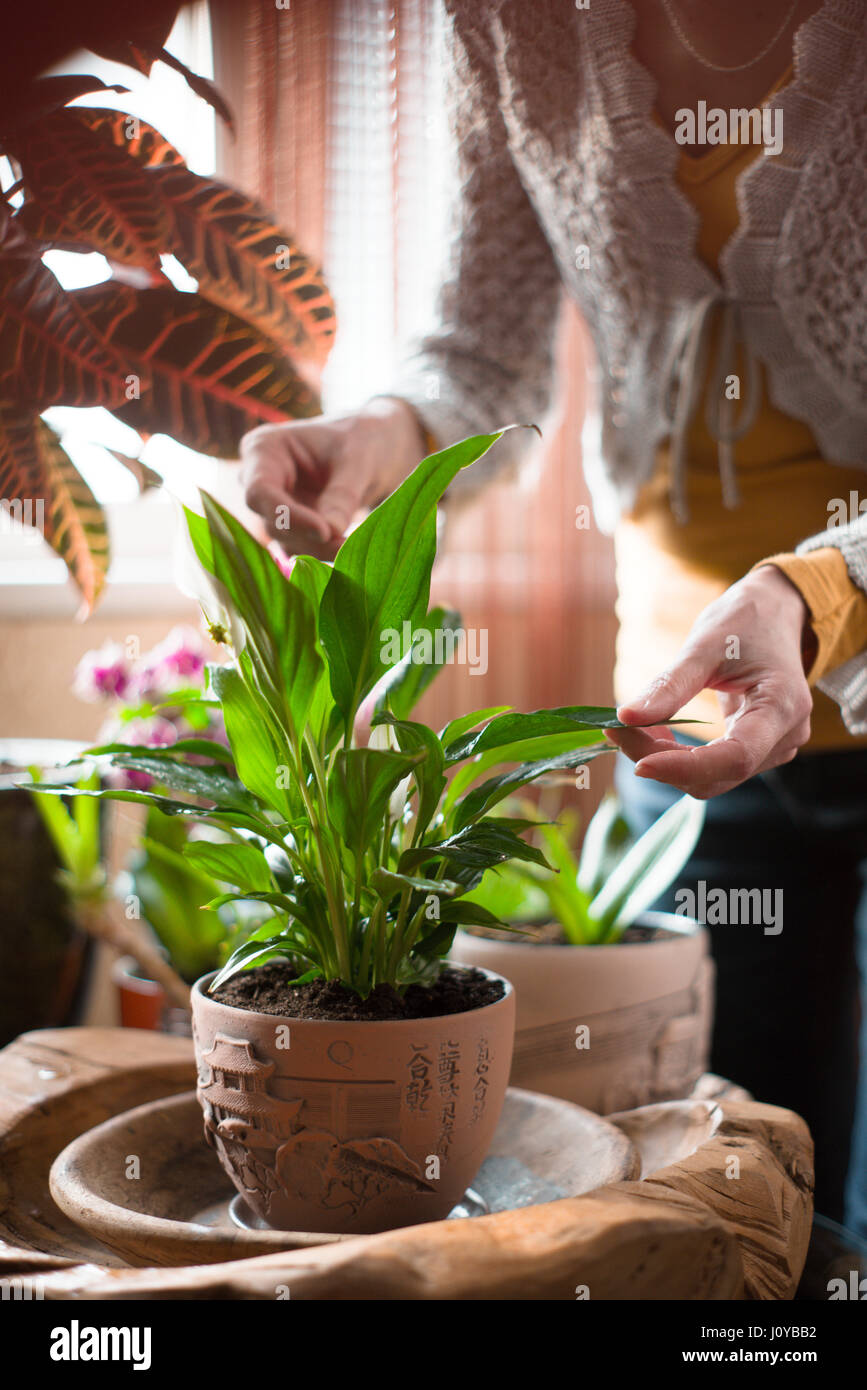 The woman caring for house plants vertical - Stock Image