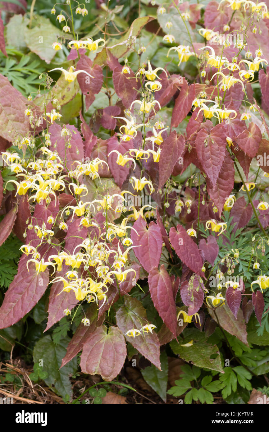 Masses of the small, yellow spring flowers of the barrenwort, Epimedium 'Buckland Buzz', show against the - Stock Image
