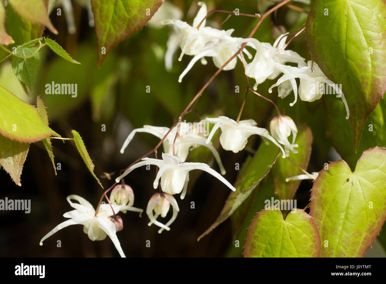 White spring flowers of the hardy perennial barrenwort, Epimedium grandiflorum 'White Queen' - Stock Image