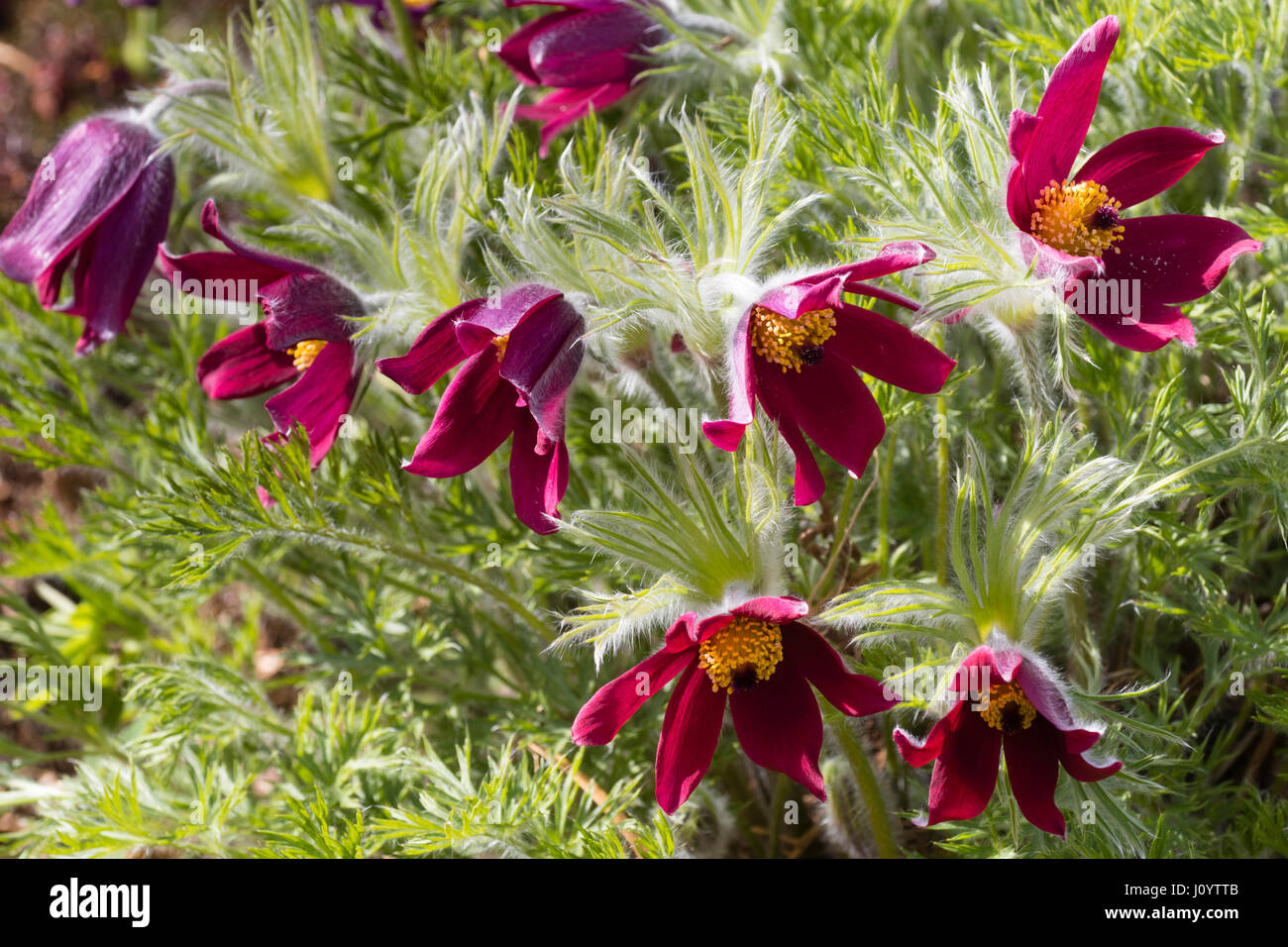 Red Spring flowers of the herbaceous perennial Pasque flower, Pulsatilla vulgaris 'Rubra' - Stock Image