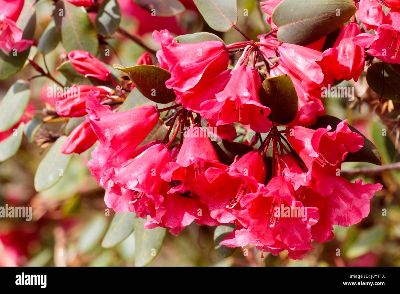 Spring bell flowers of a deep rose pink form of the evergreen shrub spring bell flowers of a deep rose pink form of the evergreen shrub rhododendron orbiculare mightylinksfo