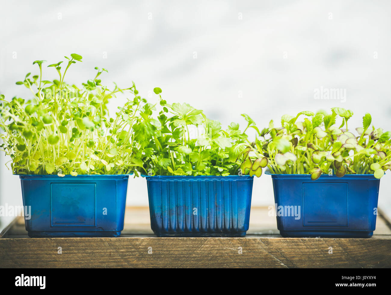 Radish kress, water kress and coriander sprouts in blue pots - Stock Image