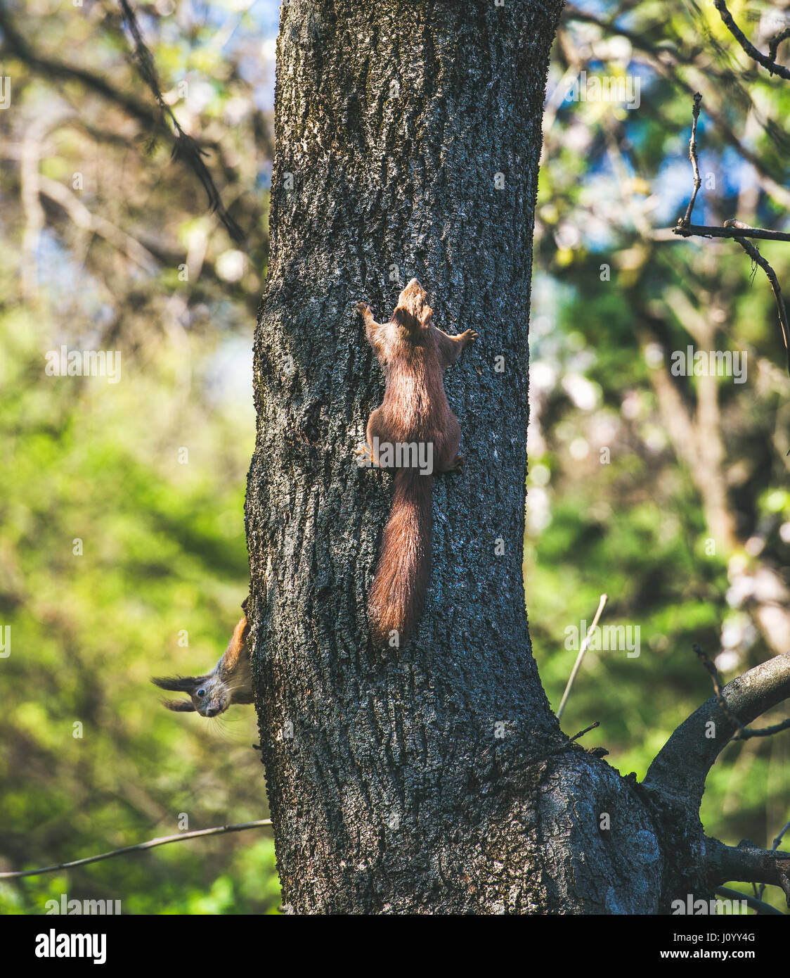 Squirrels on tree in Gellert hill park in Budapest, Hungary Stock Photo