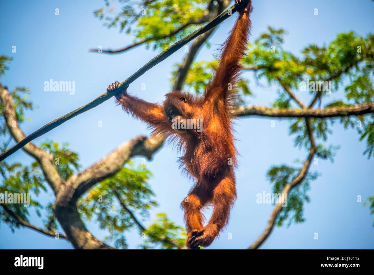 Bornean orangutan (Pongo pygmaeus), branchiation, climbing on a rope, captive, Singapore Zoo, Singapore - Stock Image