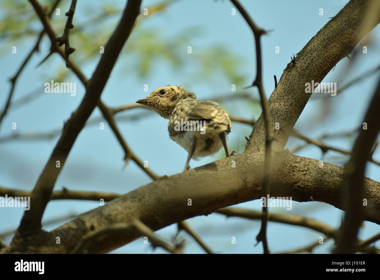 The Indian Birds - Stock Image