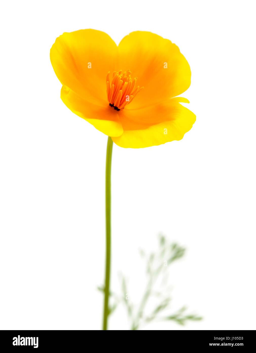 Eschscholzia californica, California poppy isolated on white - Stock Image