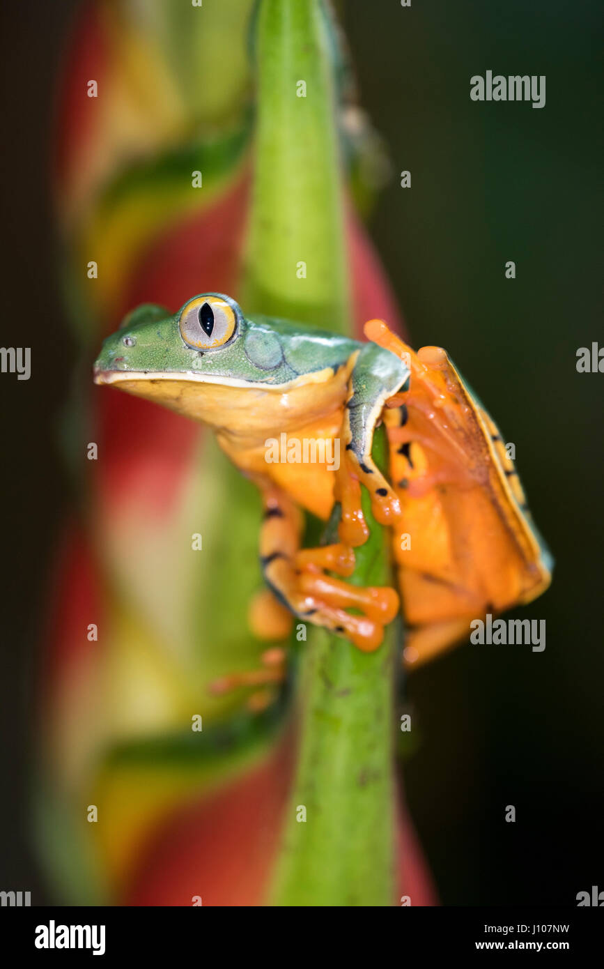 Striped Tiger Frog - Stock Image