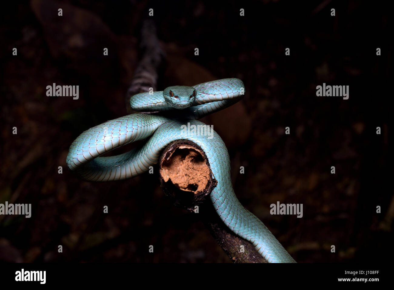 Sunda Island pit viper Stock Photo