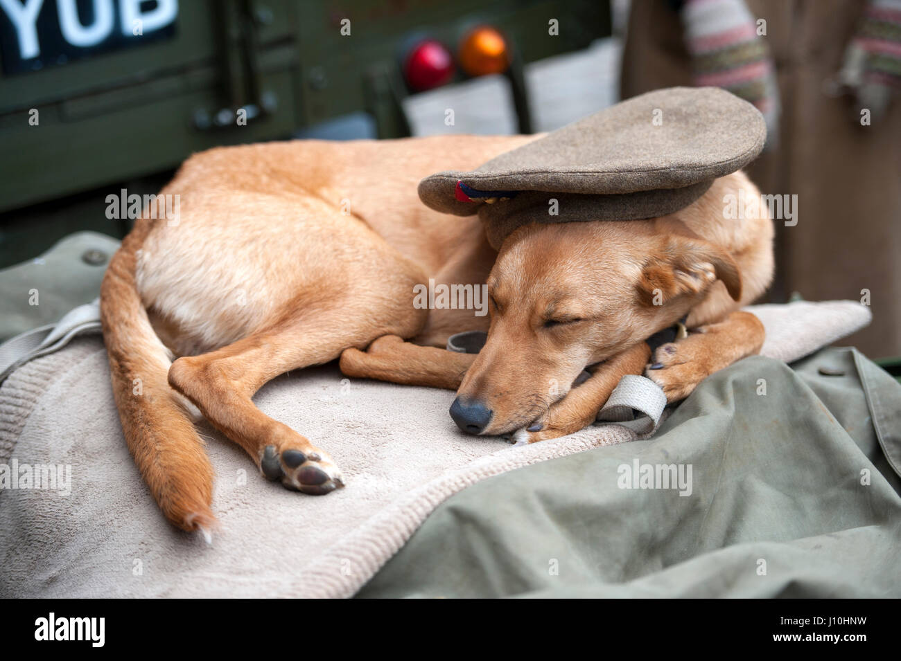Critch Tramway Village, Derbyshire, UK. WWII Home Front Event.  A dog snoozes under his owners military cap. Credit: - Stock Image