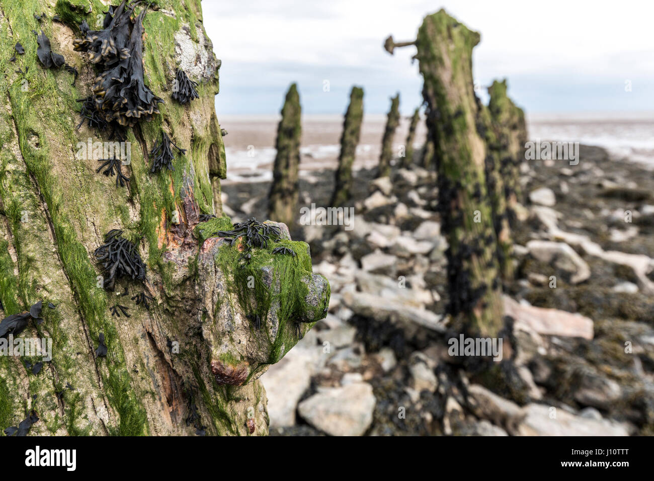 Eroded rotting wood from old pilings with rusting bolt head at Goldcliff on the Gwent Levels, Wales, UK Stock Photo