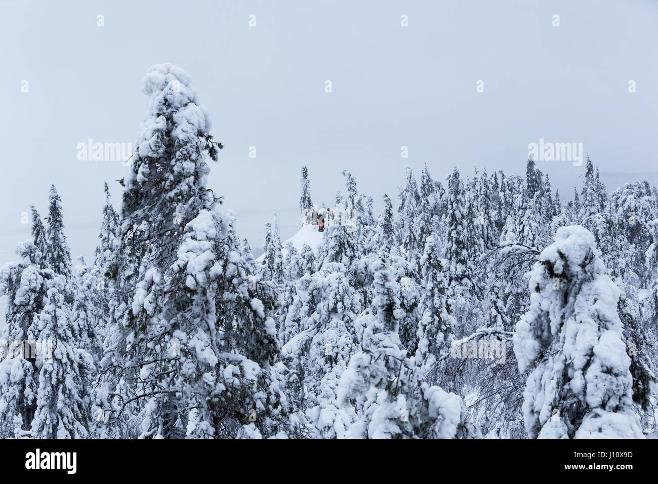 People snowshoeing in winter landscape with trees covered with tykkylumi (Crown snow-load) in Koli National Park, - Stock Image
