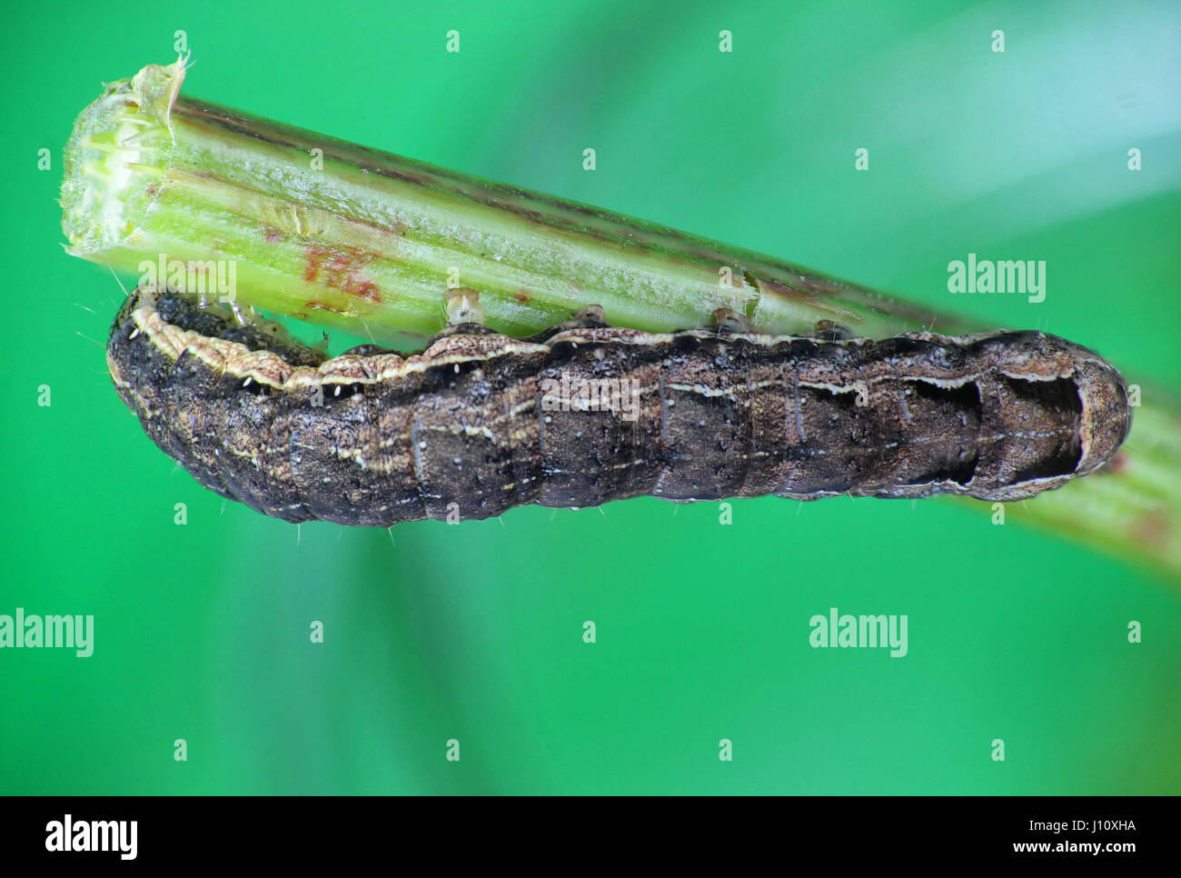 Lesser yellow underwing moth caterpillar, focus stacked macro image - Stock Image