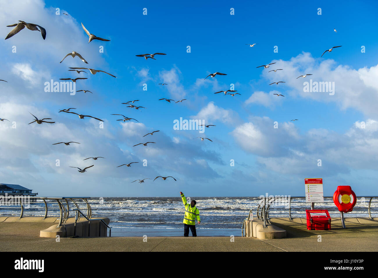 Seagulls in Blackpool, United Kingdom being fed by a man in a hi-vis jacket with a blue sky and copy space. - Stock Image