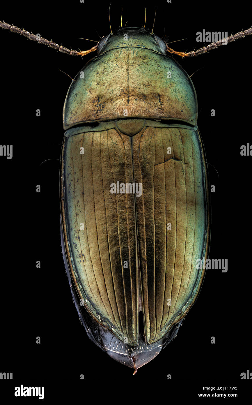 Dorsal view of a woodboring beetle - Stock Image