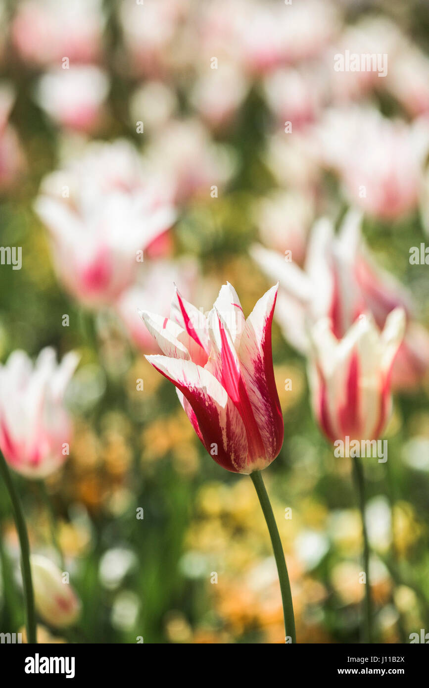 Flowers Tulips Tulipa Perennial Bedding plant Plant Bloom Petals Vibrant Red Colourful Colorful Garden Gardening - Stock Image