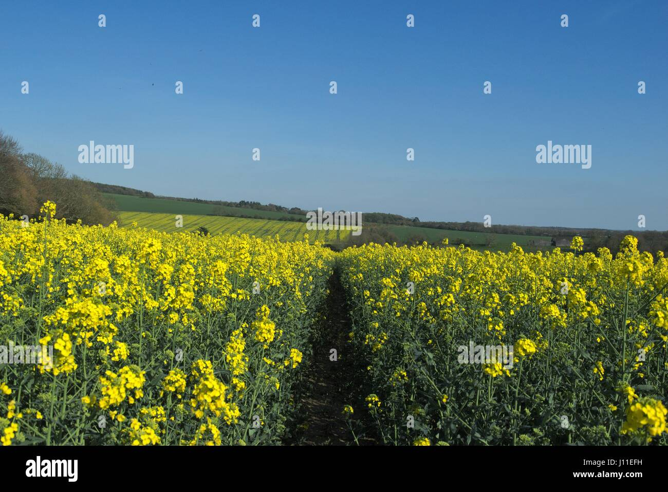 Field yellow flowers grown rapeseed stock photos field yellow rapeseed fields grown to be turned into vegetable oil look pretty but don mightylinksfo