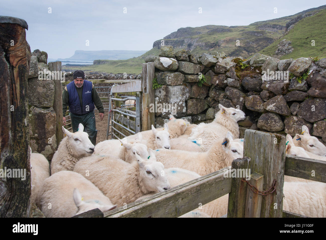 FarmerMurdo Jack checking his sheep for infection on the island of Canna, Inner Hebrides, Scotland - Stock Image