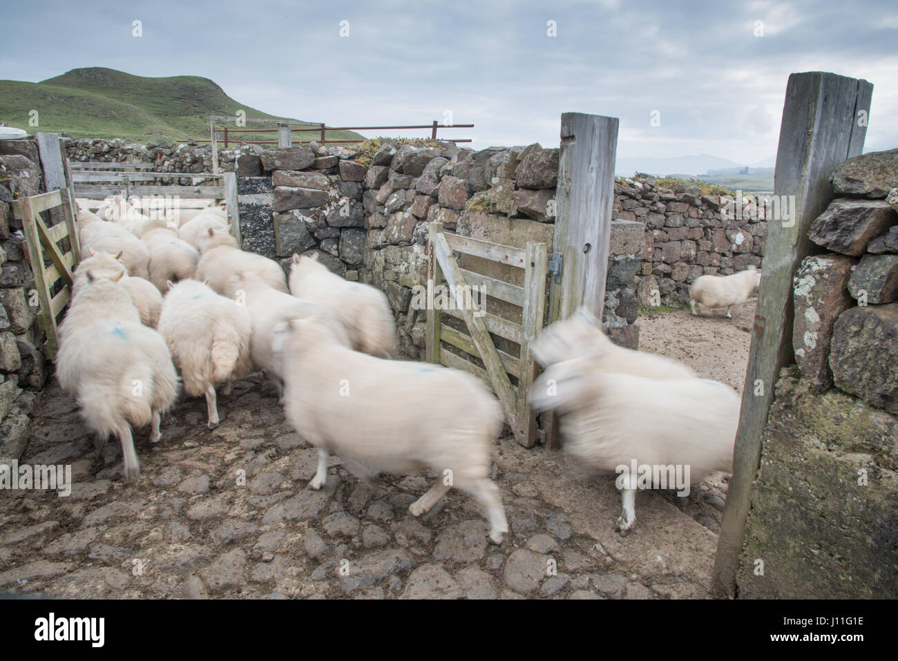 Farmer checking his sheep for infection on the island of Canna, Inner Hebrides, Scotland - Stock Image