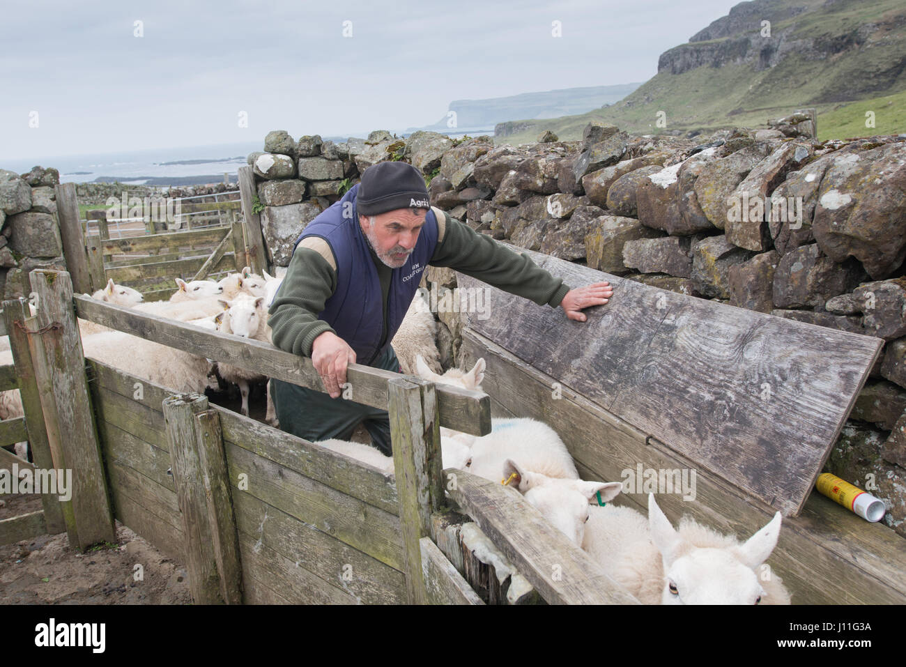 Farmers Murdo Jack checking his sheep for infection on the island of Canna, Inner Hebrides, Scotland - Stock Image