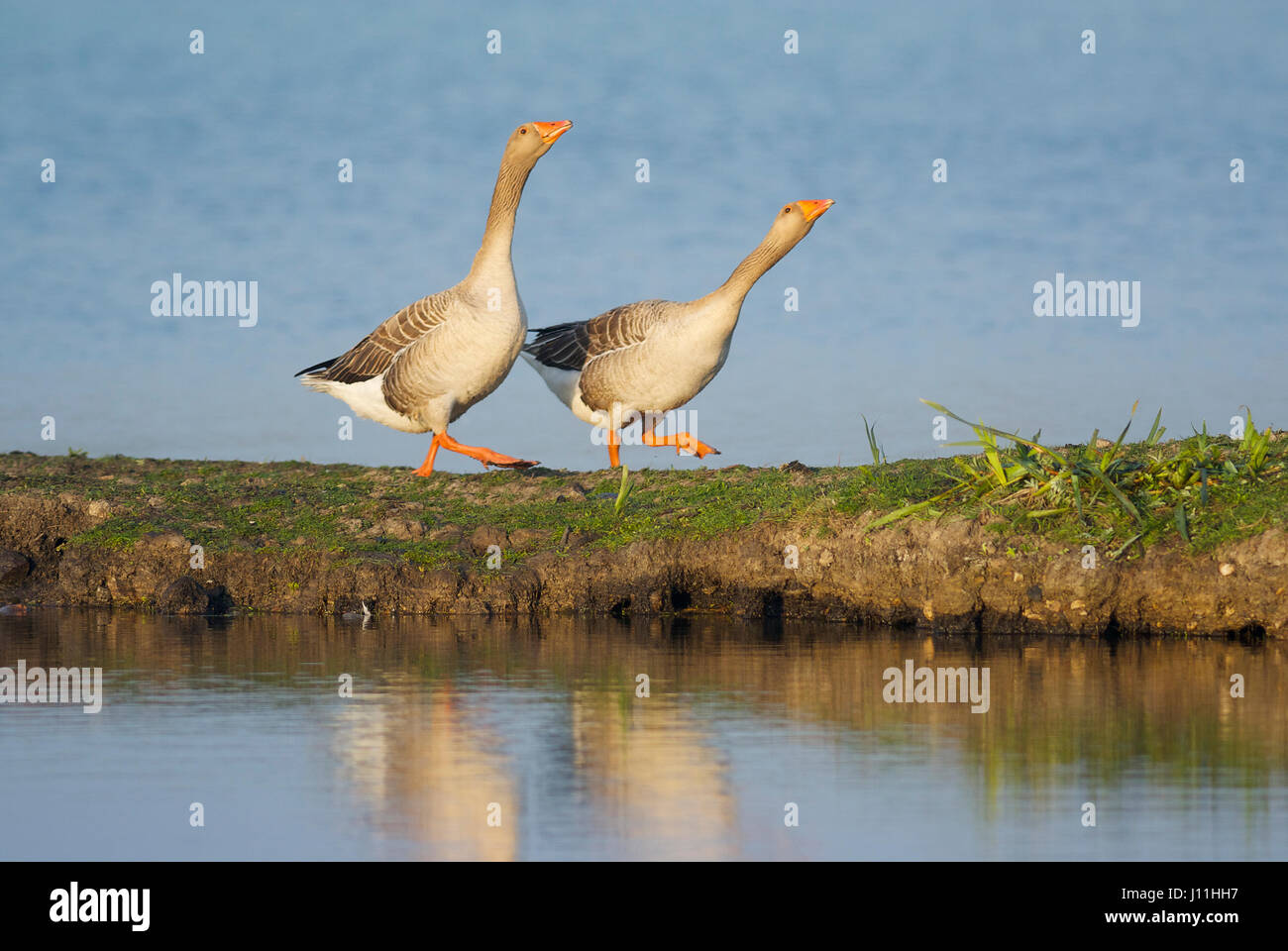 Greylag geese (anser anser) pair courting - Stock Image