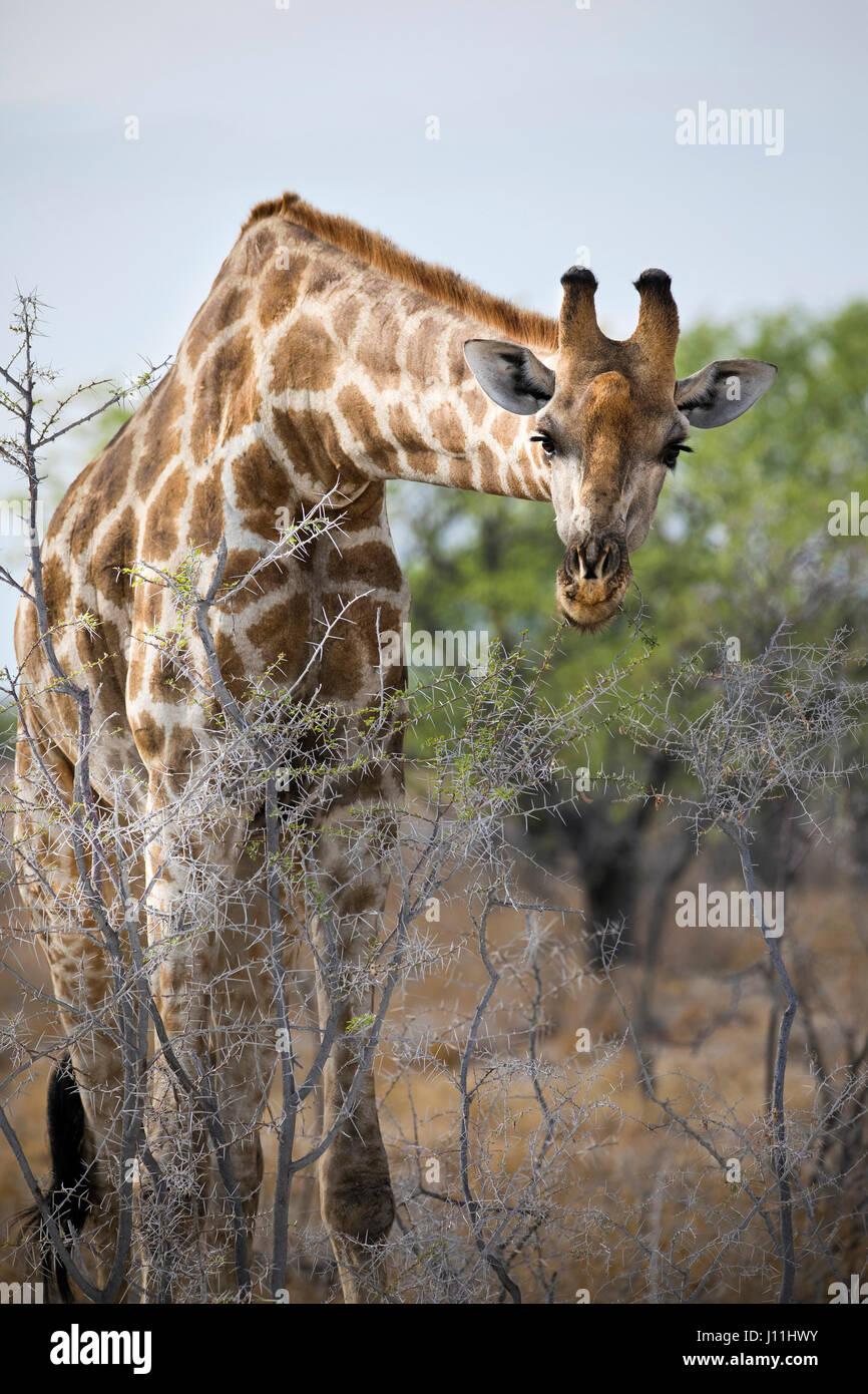 Angolan Giraffe, Giraffa giraffa angolensis, Etosha National Park, Namibia, AfricaStock Photo