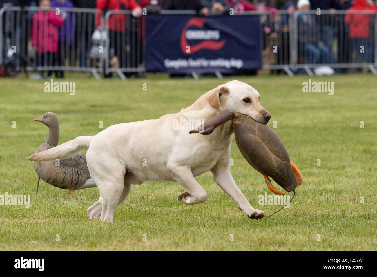 Labrador retriever, retrieving a rubber goose display - Stock Image