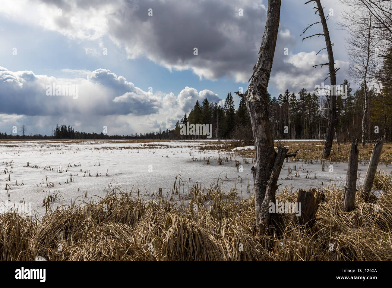 Swamp in the spring - Stock Image