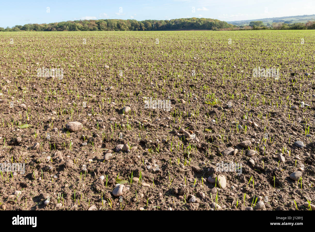 Stony ground: farmland field with many stones in the soil,Nottinghamshire, England, UK - Stock Image