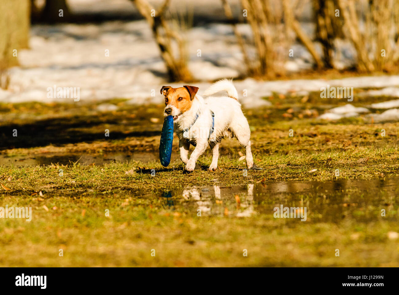 Dog playing toss and fetch game with disc at spring park - Stock Image