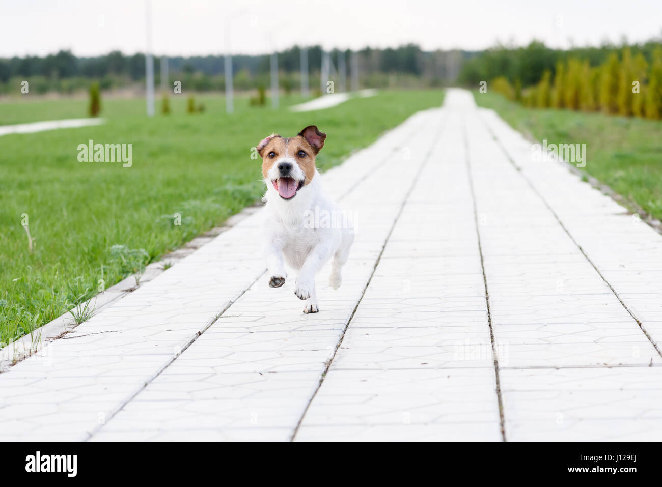 Dog running on camera by tiled road going to vista - Stock Image