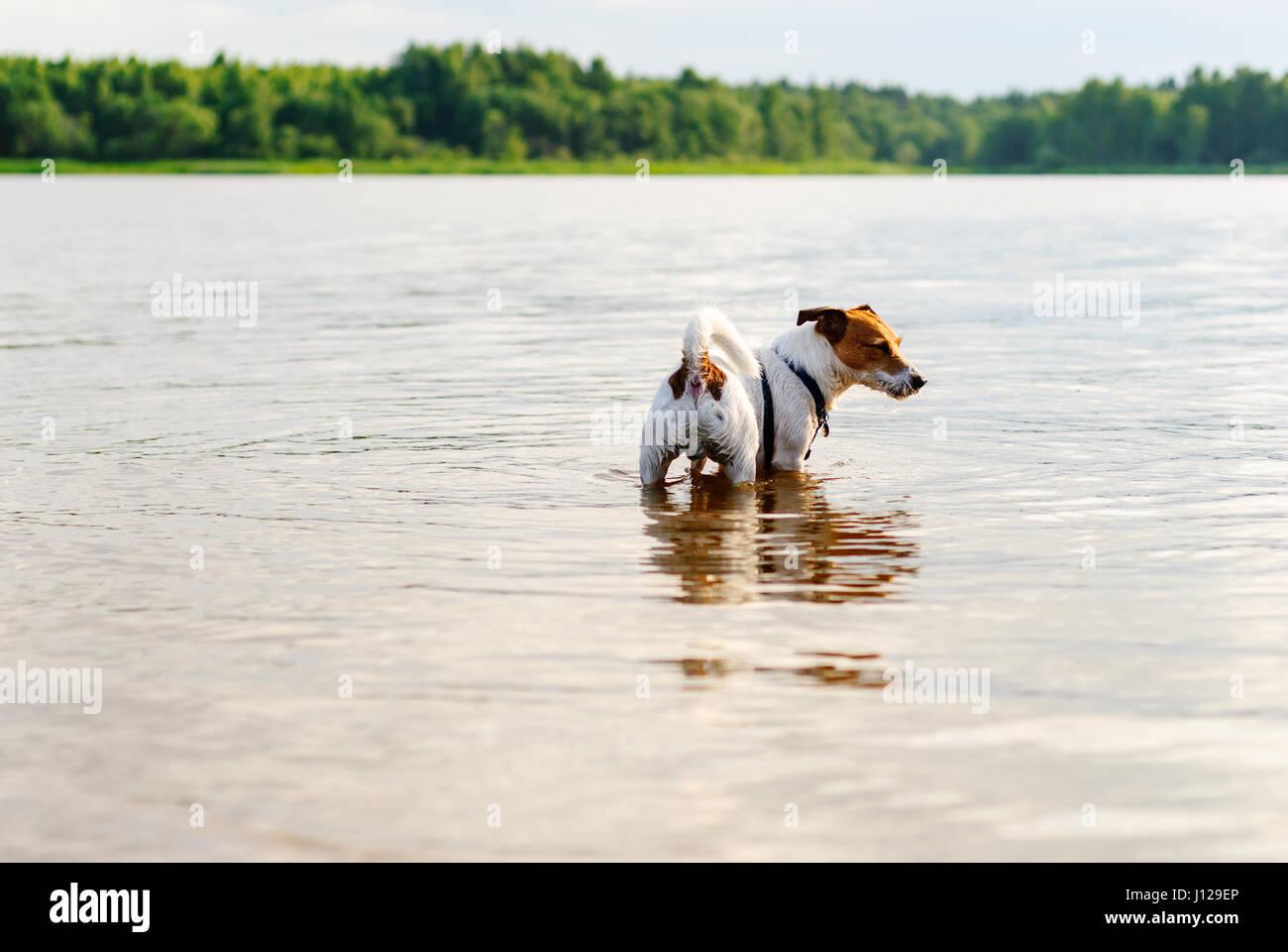 Dog rambling in river water at hot summer day - Stock Image