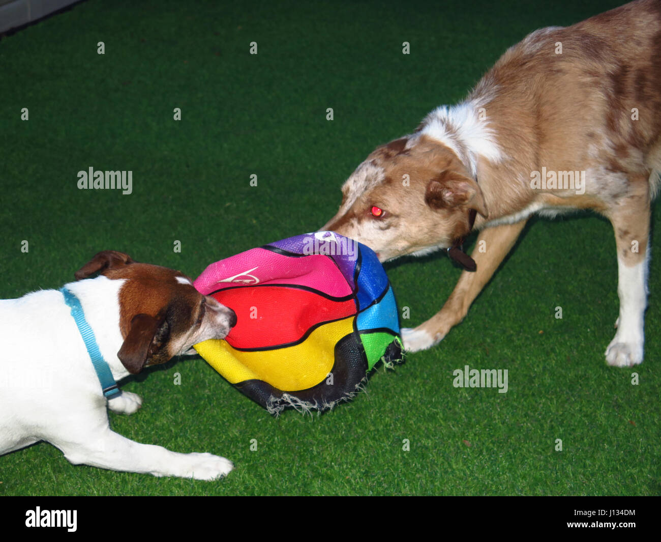 Jack Russell and red Collie playing with ball - Stock Image