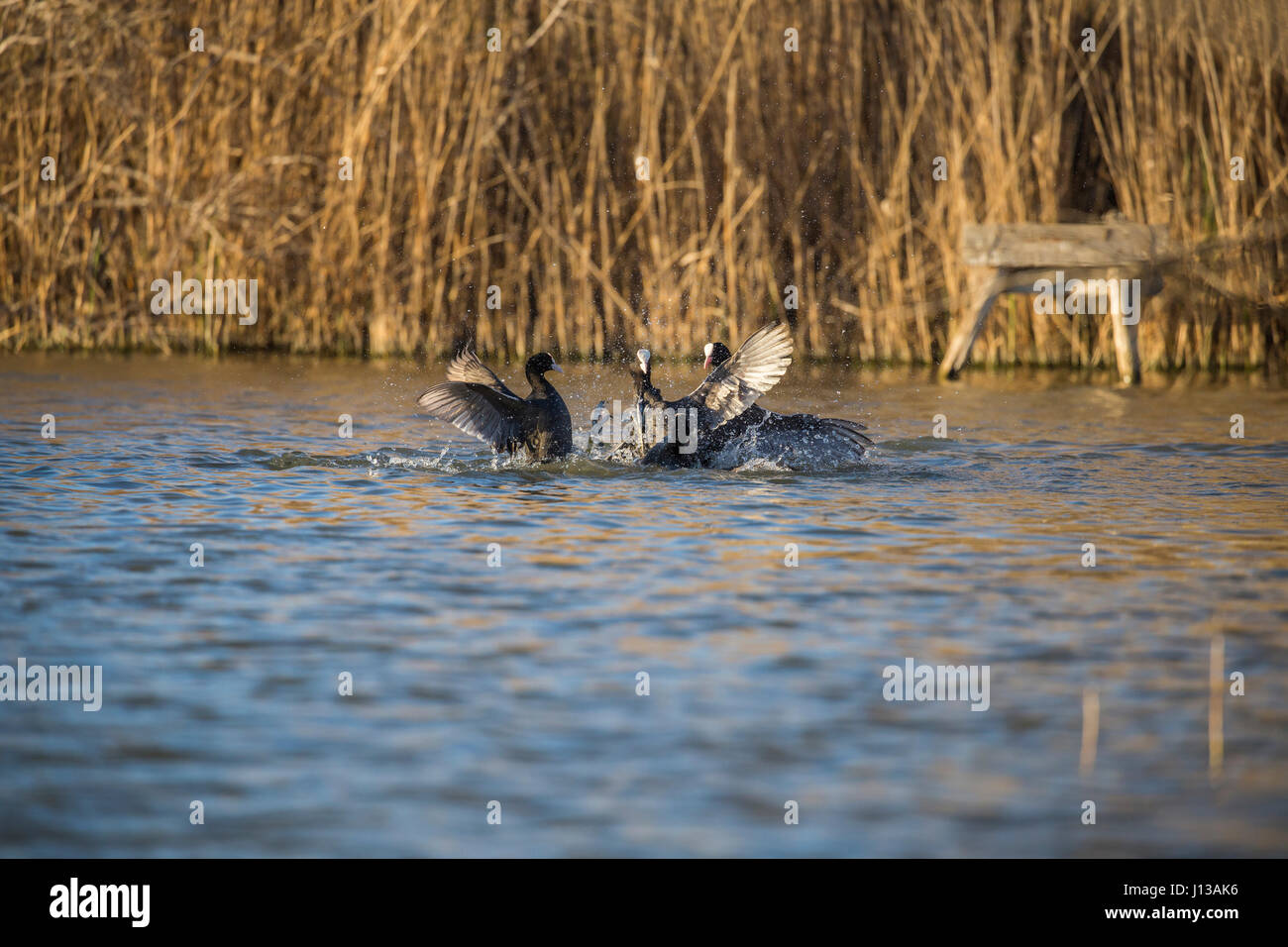Coots make the fight in the pond in Italy Stock Photo