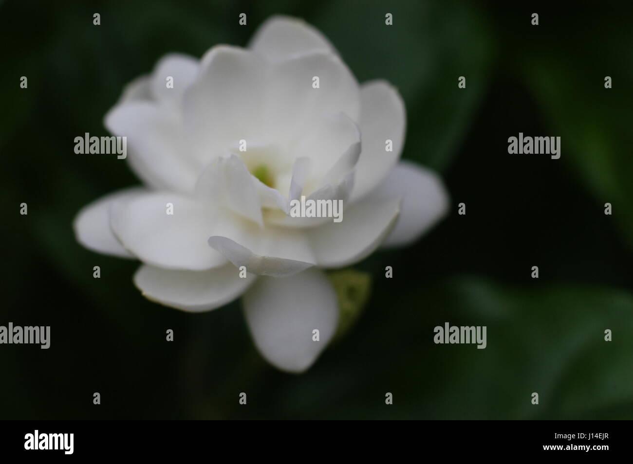 Pikake flower stock photos pikake flower stock images alamy jasmine flower on tree and leaf on nature background stock image izmirmasajfo