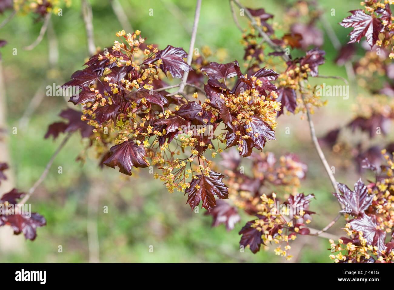 Acer platanoides 'Goldsworth Purple' in flower. Stock Photo