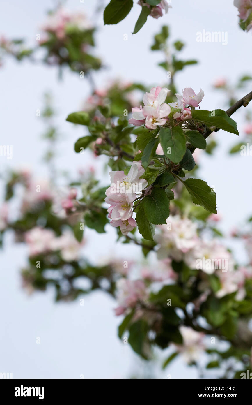 Malus domestica 'Merton Russet' blossom in Spring. - Stock Image