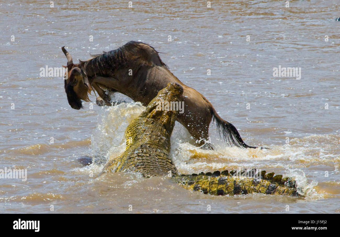 Crocodile attack wildebeest in the Mara river. Great Migration. Kenya. Tanzania. Masai Mara National Park. An excellent Stock Photo