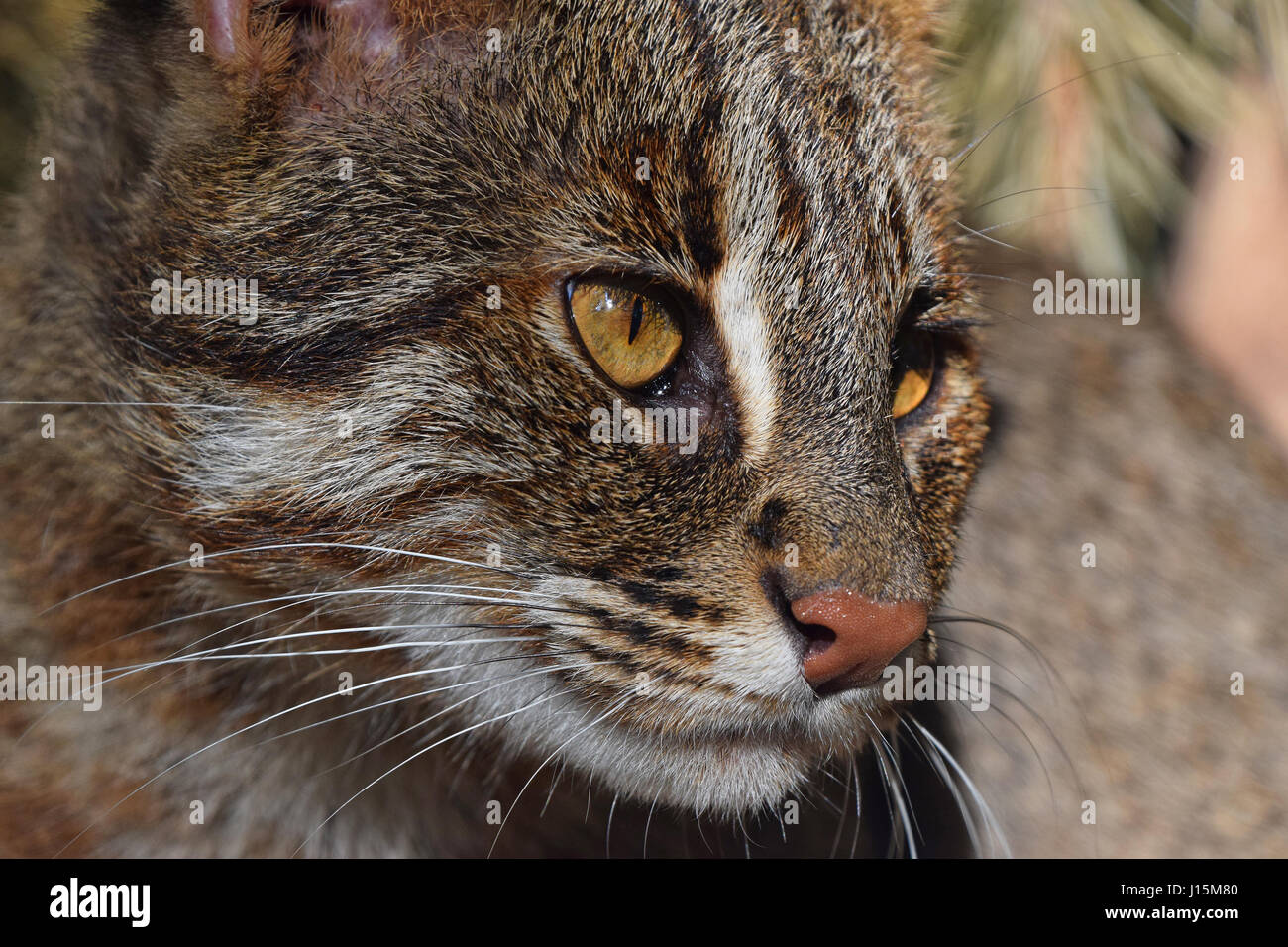 https://c8.alamy.com/comp/J15M80/close-up-side-portrait-of-fishing-cat-prionailurus-viverrinus-looking-J15M80.jpg