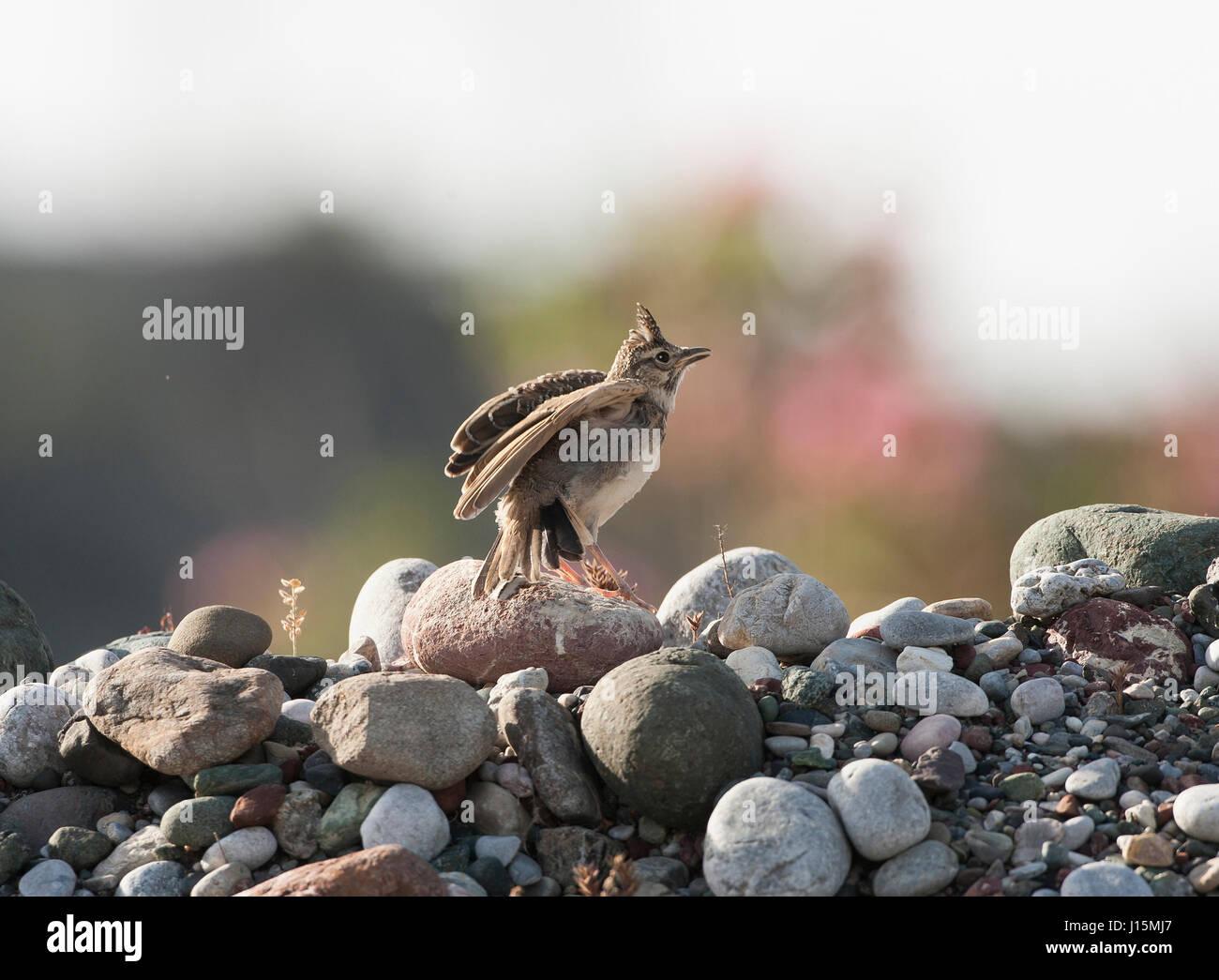 Juvenile crested lark Galerida crostata Rhodes in spring - Stock Image