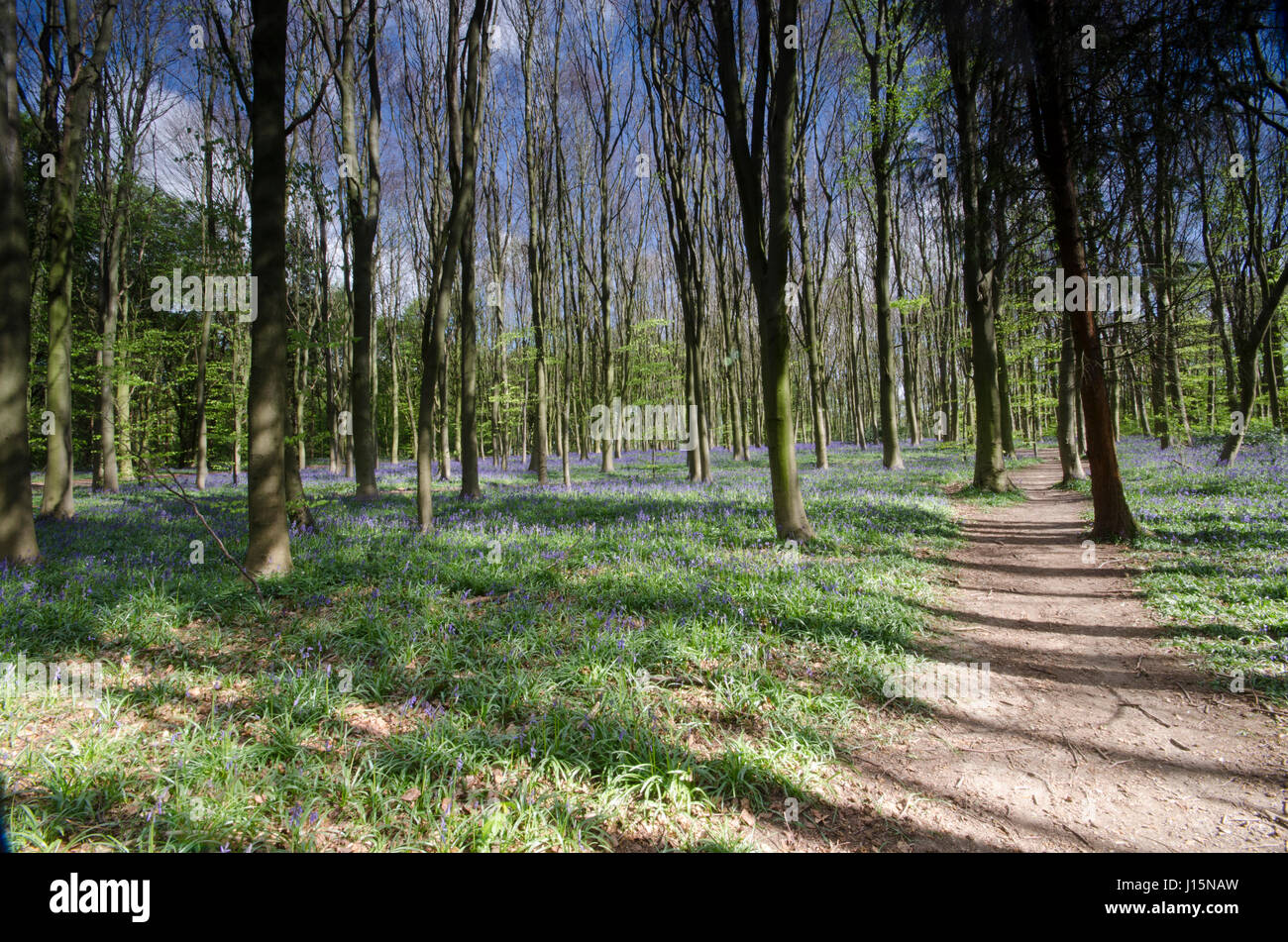 woodlands in the spring showing fine display of Bluebells this time of the year. - Stock Image