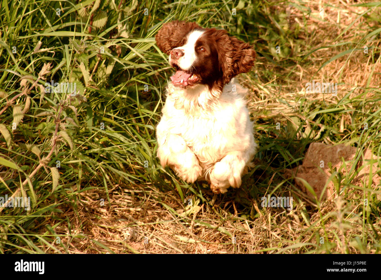 Working brown & white English Springer Spaniel Creggy leaping up an earth bank in pursuit of his quarry near - Stock Image