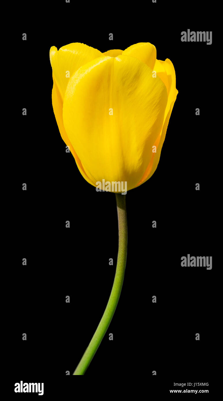 Closeup on a single yellow tulip (Tulipa) in Spring against a black background. - Stock Image