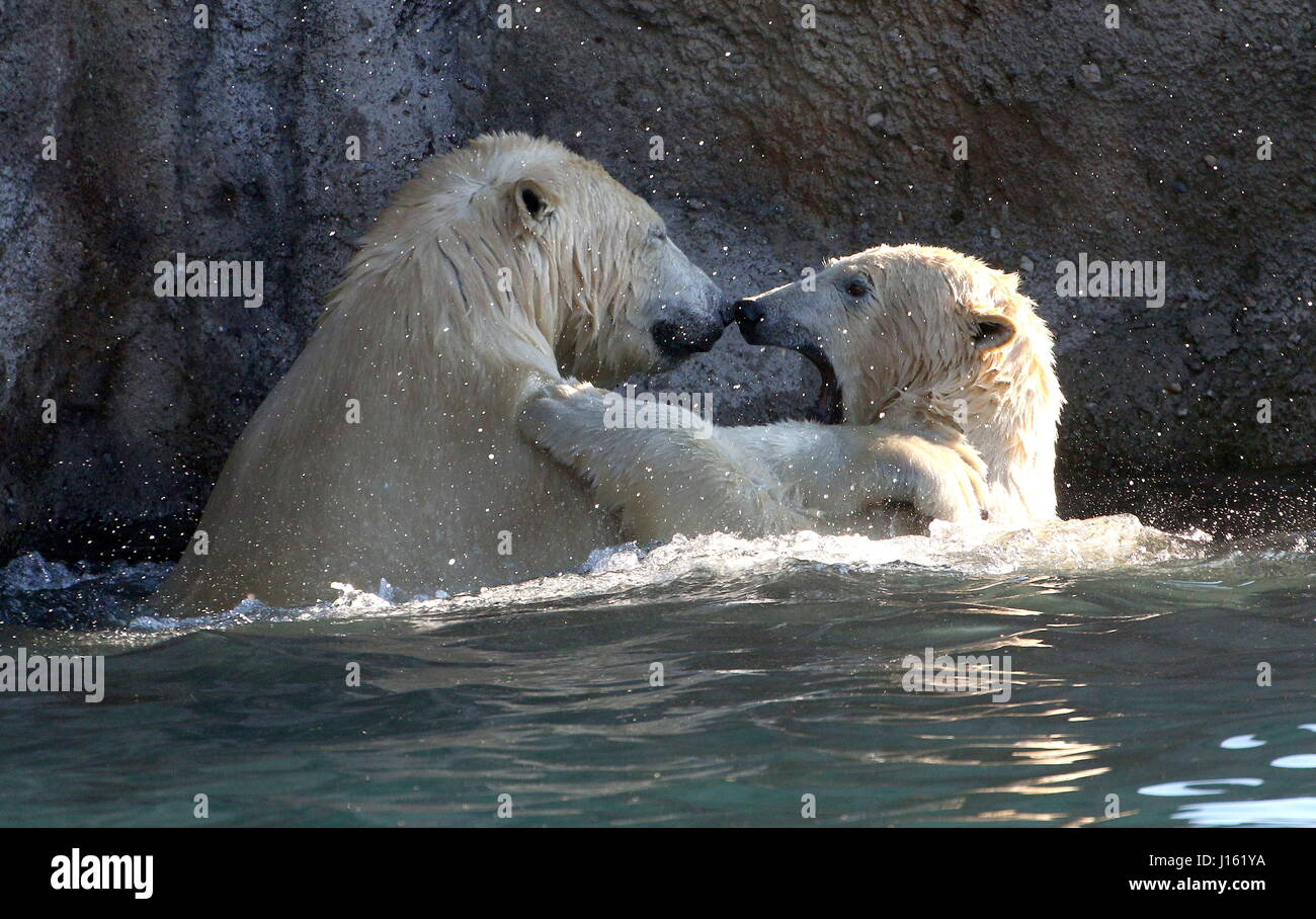 Aggressive female Polar bears (Ursus maritimus) fighting in the water Stock Photo