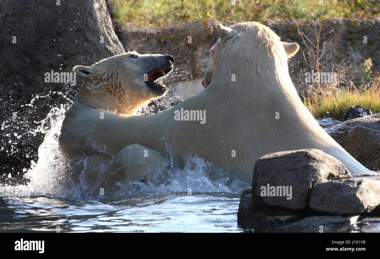 Aggressive female Polar bears (Ursus maritimus) fighting in the water - Stock Image