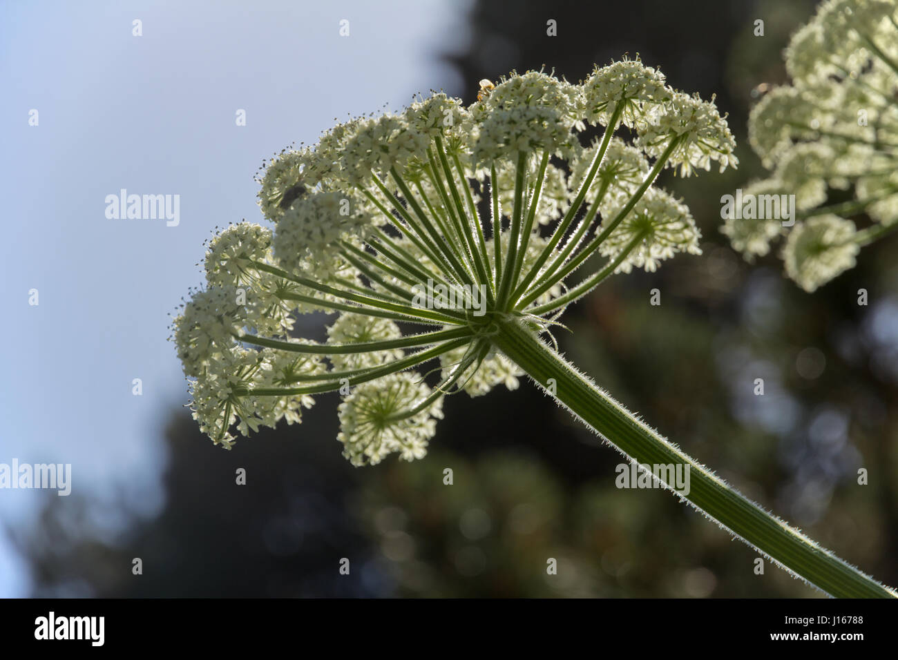 Giant hogweed taken from below showing petals and stamens.  Fine hairs on stems are backlit and bright. - Stock Image