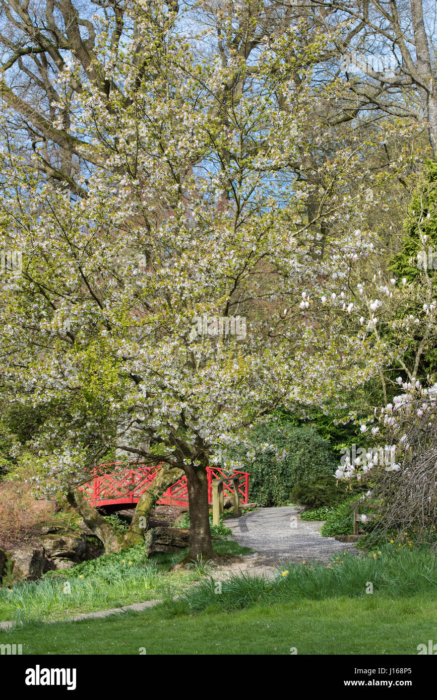 Prunus Umineko White Flowering Cherry Tree In April Batsford Stock