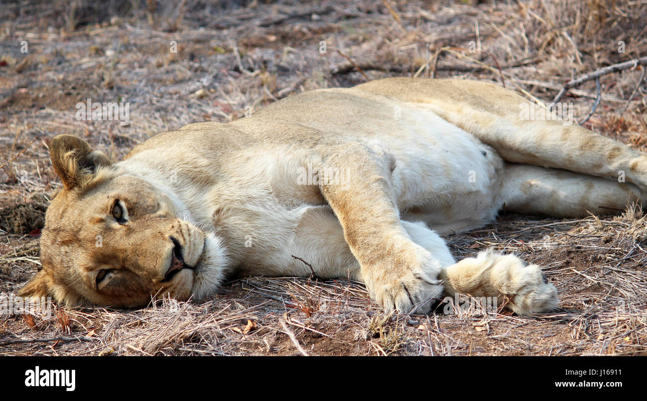 Lioness resting in South African Sun - Stock Image
