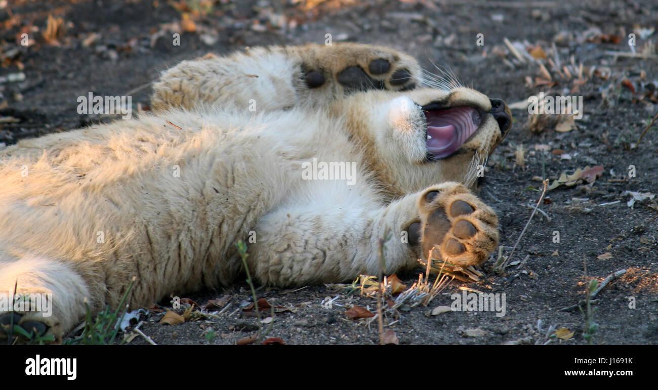 Lion Cub Yawning - Stock Image