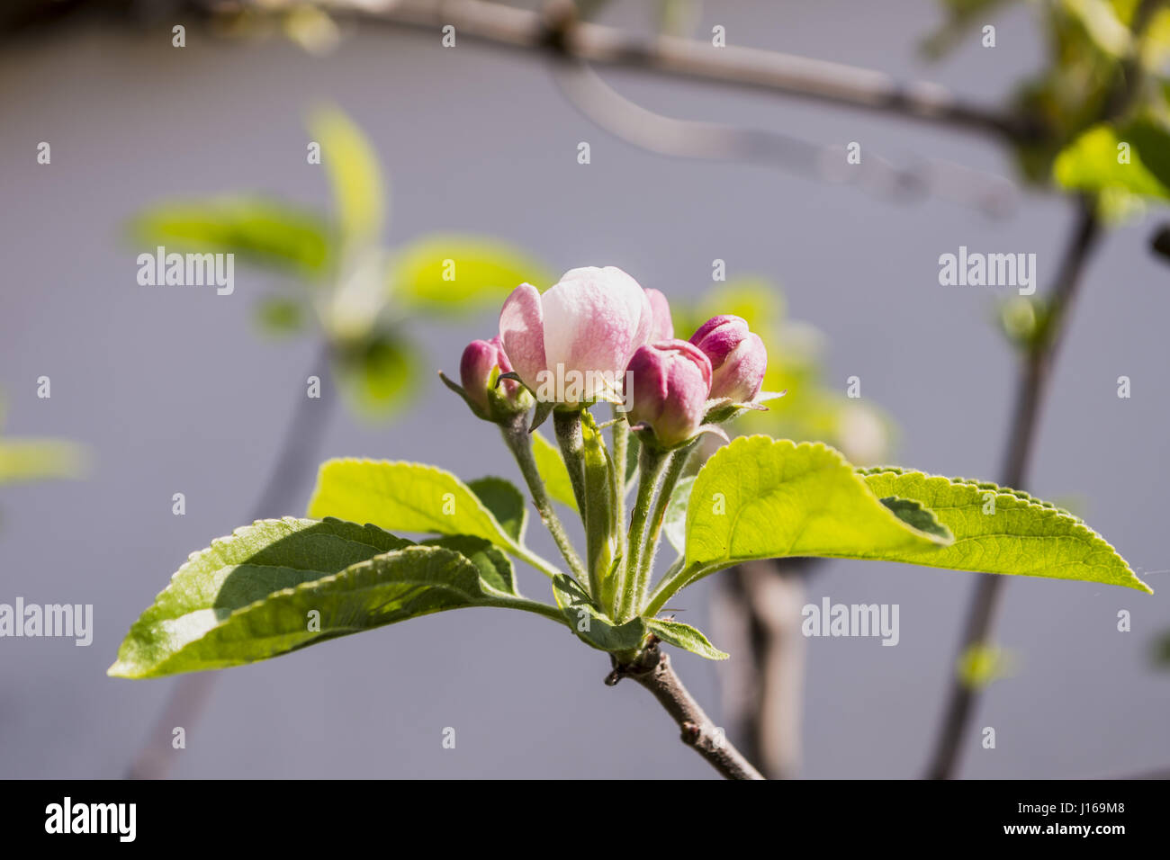 branches in bloom with buds and buds, pear and apple, for spring-flowering, - Stock Image